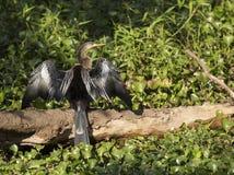 anhinga που ξεραίνει τα φτερά του Στοκ Εικόνα