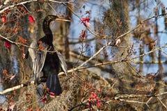 anhinga που ξεραίνει τα φτερά του Στοκ Φωτογραφίες