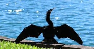 Anhinga που ξεραίνει τα φτερά του απόθεμα βίντεο