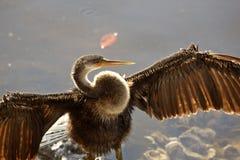 anhinga που ξεραίνει τα φτερά το Στοκ φωτογραφία με δικαίωμα ελεύθερης χρήσης