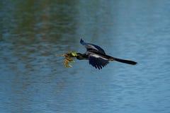 Anhinga που πετά στη φωλιά Στοκ Εικόνες