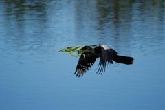 Anhinga που πετά στη φωλιά Στοκ Εικόνα