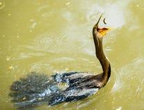 Anhinga που πιάνει το πουλί Στοκ φωτογραφία με δικαίωμα ελεύθερης χρήσης