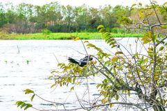Anhinga που σκαρφαλώνει στο δέντρο Στοκ Εικόνες