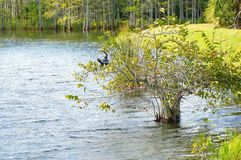 Anhinga που σκαρφαλώνει στο δέντρο Στοκ φωτογραφία με δικαίωμα ελεύθερης χρήσης