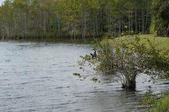 Anhinga που σκαρφαλώνει στο δέντρο Στοκ εικόνες με δικαίωμα ελεύθερης χρήσης