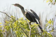 Anhinga που σκαρφαλώνει με τα φτερά που ξεραίνουν στη λίμνη Apopka, Φλώριδα Στοκ Εικόνες