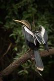 Anhinga που σκαρφαλώνει στα νεκρά φτερά τεντώματος κλάδων Στοκ εικόνες με δικαίωμα ελεύθερης χρήσης
