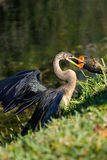 Anhinga που τρώει τα ψάρια Στοκ εικόνες με δικαίωμα ελεύθερης χρήσης