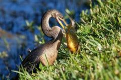 Anhinga που τρώει τα ψάρια Στοκ Εικόνα