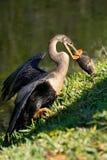 Anhinga που τρώει τα ψάρια Στοκ φωτογραφία με δικαίωμα ελεύθερης χρήσης