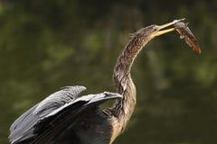 Anhinga που τρώει τα ψάρια Στοκ φωτογραφίες με δικαίωμα ελεύθερης χρήσης
