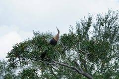 Anhinga σε ένα δέντρο Στοκ Φωτογραφία