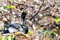 Anhinga στη φωλιά στους υγρότοπους Στοκ Φωτογραφίες