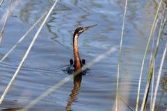 Anhinga, υδρόβια πουλιά από το νότο Afrika Στοκ Εικόνες