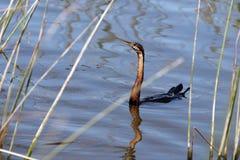 Anhinga, υδρόβια πουλιά από Afrika, Στοκ Εικόνα