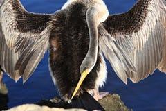 Anhinga, озеро черный лебед в Perth, Австралии стоковая фотография rf