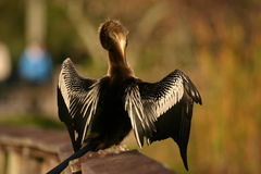 Anhinga Royalty Free Stock Image