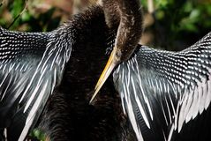 Anhinga. Drying in the sun Royalty Free Stock Images