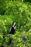 Anhinga Stock Photography