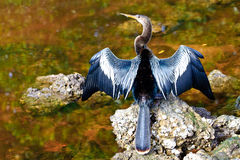 Anhinga Foto de Stock Royalty Free