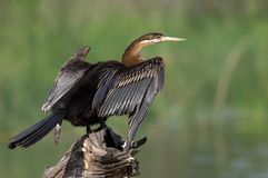 Anhinga Royalty Free Stock Images