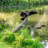 An Anhinga Above the Ducks stock photography