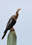 Anhinga, also known as snakebird or darter, perched on a post Royalty Free Stock Photo