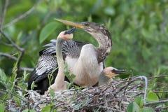 Anhinga américain femelle avec des jeunes au nid - marais nationaux Photographie stock libre de droits