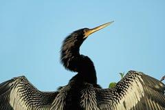 Anhinga américain mâle avec des ailes étendues images stock