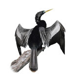 Anhinga (Anhinga Anhinga) Bird Royalty Free Stock Photos
