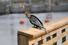Anhinga (Anhinga anhinga) Beside Canal Royalty Free Stock Photos