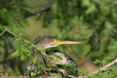 Anhinga (Anhinga anhinga) dosypianie w drzewie Zdjęcie Stock