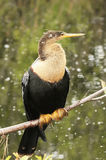 Anhinga (Anhinga anhinga) female Royalty Free Stock Photos