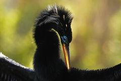 Anhinga (Anhinga anhinga) male Royalty Free Stock Photography