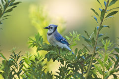 Blue Jay. Perched in a tree,  with deformed beak, Green Cay Nature Area, Delray Beach Florida Stock Image