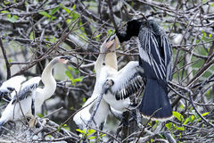 Anhinga, anhinga anhinga, water turkey Royalty Free Stock Photo