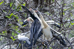 Anhinga, anhinga anhinga, water turkey Stock Photography