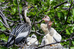 Anhinga, anhinga anhinga, water turkey Royalty Free Stock Photography