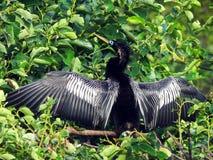 Anhinga (anhinga d'Anhinga) Photo libre de droits