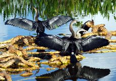 Anhinga (anhinga d'Anhinga) Photos libres de droits
