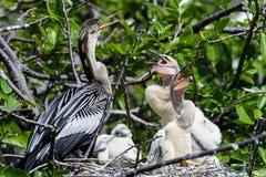 Anhinga, anhinga del anhinga, pavo de agua Fotografía de archivo libre de regalías