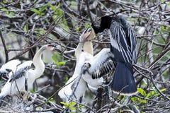 Anhinga, anhinga del anhinga, tacchino di acqua Fotografia Stock Libera da Diritti