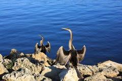 Anhinga, Australie photo stock