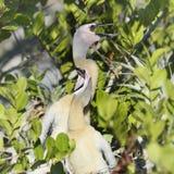 Anhinga Baby Birds Stock Images