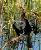 Anhinga. Beautiful Anhinga calling from tree branch with wings spread Royalty Free Stock Photo