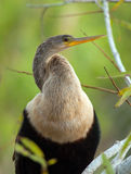 Anhinga Royalty Free Stock Photos