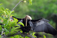 Anhinga bird. Anhinga in Everglades spreads wings for cleanup royalty free stock photography