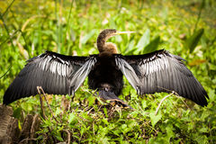 Anhinga bird Royalty Free Stock Images