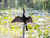 Anhinga bird drying its feathers in Everglades Royalty Free Stock Photos